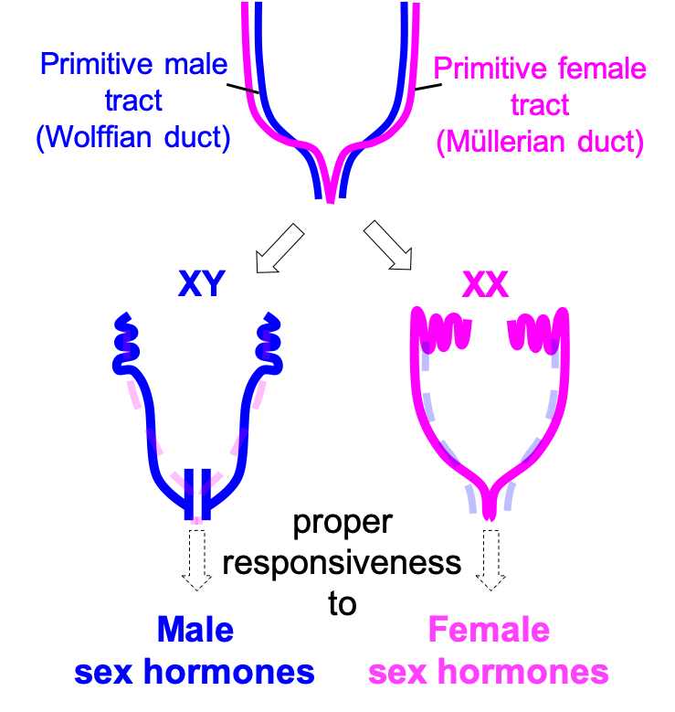 Sexual Differentiation of Reproductive Tracts